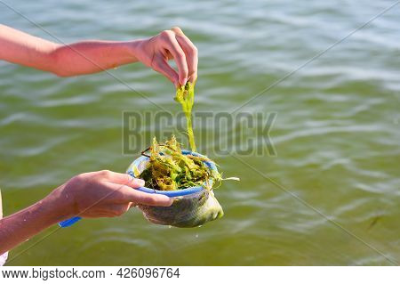 The Girl Collects Green Algae In The Black Sea. Selective Focus On Algae.
