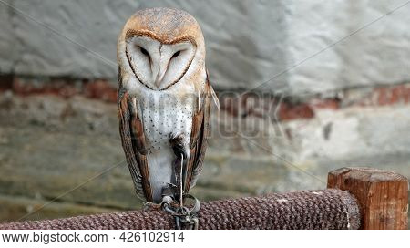 Detail Of A Barn Owl Tyto Alba Sits On A Perch.