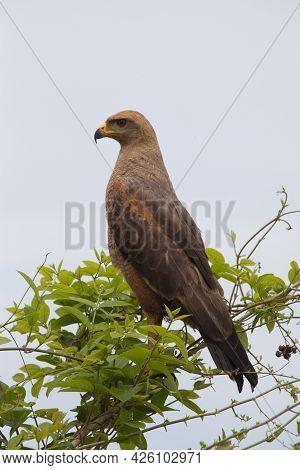 Closeup Portrait Of Golden Eagle (aquila Chrysaetos) Standing Upright In Tree Transpantaneira, Panta