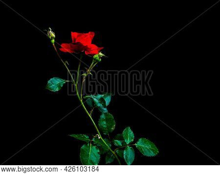 Red Rose Flower On A Black Background. Red Rose. Blooming Flower. Green Leaves. Black Background. Ni