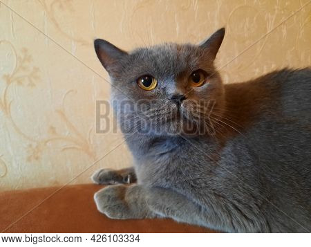 British Gray Shorthair, According To Legend, Are The Descendants Of The Cheshire Cat. Portrait Of A