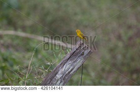 Yellow Saffron Finch (sicalis Flaveola) Sitting On Tree Stump Transpantaneira, Pantanal, Brazil.