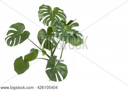 Monstera Plant In Pot Isolated On White Background. Philodendron Plant On Isolated White Background