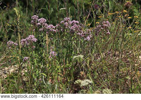 Oregano Medicinal Plants Set, Alternative Medicine Concept, Natural Background, Mint Are Used To Tre