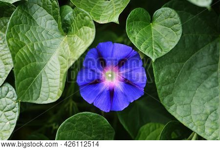 Close Up Blue Morning Glory Flower Plant Background