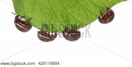 Many Colorado Potato Beetles On Green Leaf Against White Background