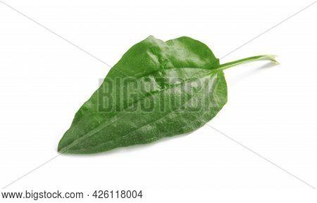 Fresh Green Broadleaf Plantain Leaf Isolated On White