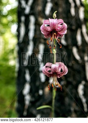 Beautiful Purple Forest Flower With Latin Name Lilium Martagon, Just Bloomed, Narrow Focus Area