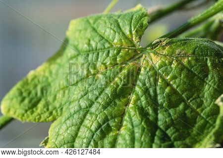 Yellow Spots On Cucumber Leaves Are Sign Of Disease Chlorosis