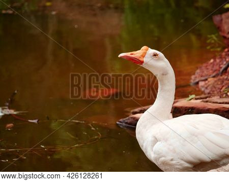 Single Duck Looking On Left Side At Beautiful Natural Lake Water.