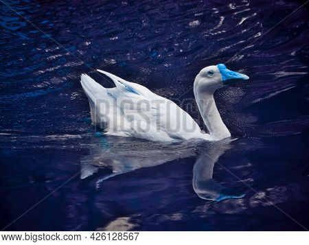 A Duck Swimming Alone On Lake Water At Beautiful Natural Background.