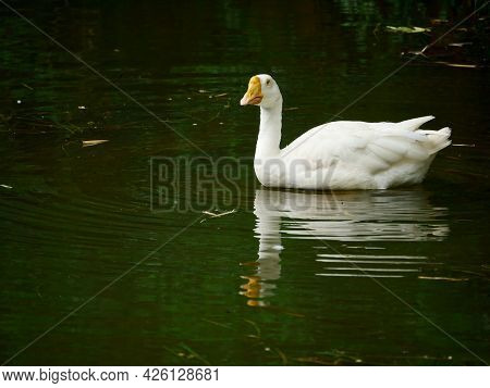 Duck Looking At Front While Swimming On Water Side At Beautiful Natural Background.