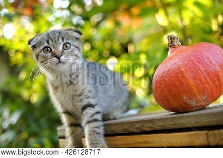 Autumn Season. Kitten And Pumpkin. Autumn Mood. Scottish Fold Tabby Kitten And Hokkaido Pumpkin In A