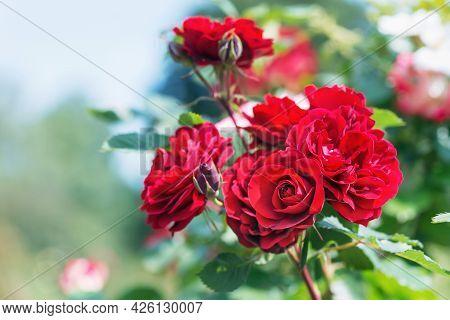 Rose Floribunda