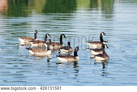 Close Up Of Group Of Canada Gooses Swimming In The River In Summer Season In Europe.
