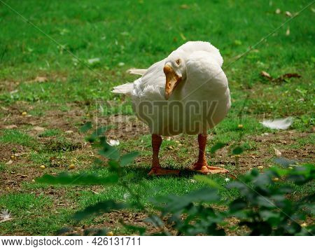 Single Duck Standing At Funny Posture Presented At Green Grass Indian Garden Field.