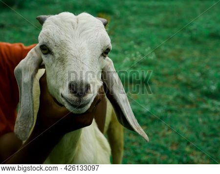 Boy Holded Baby Goat Face For Presenting Natural Animal Lifestyle Concept.