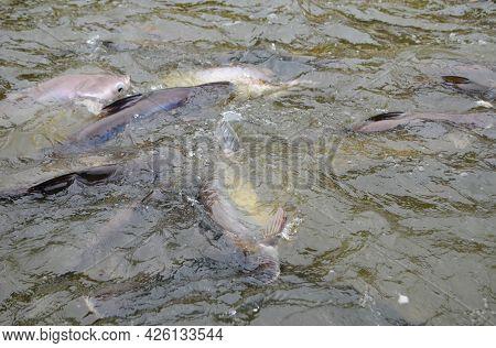 Feeding Fish During A Boat Tour On The Chao Phraya River, Bangkok (thailand). Big And Hungry Thai Ca