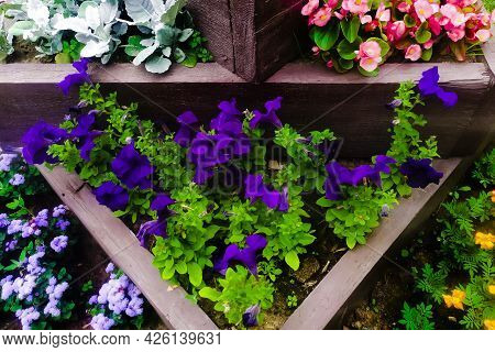 Petunia Surprise Cobalt Blue On Multi Tiered Flower Bed Close Up. Colorful Potted Plants In Garden C