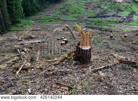 Stump Of The Fir Tree After Deforestation Forest. Stumps Of A Spruce After Illegal Logging. Cutting