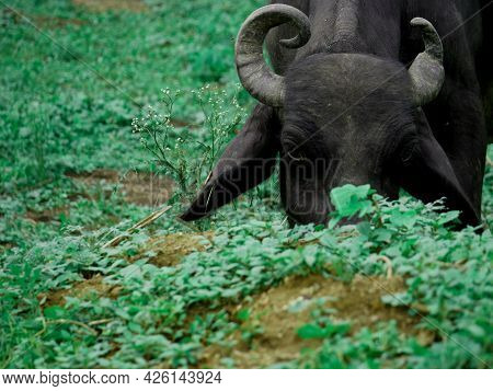 Healthy Buffalo Eating Green Grass At Forest Area, Mammals Eating Concept.