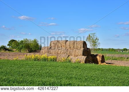 Hay In Rolls On The Field Is Stored In The Open. Harvesting Dry Grass For Agriculture Or Farmer. Eco