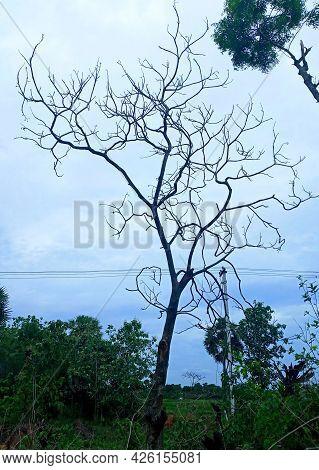 Leafless Tree, Dry And Dead, Autumn Season