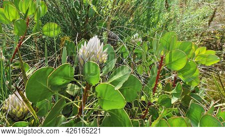 King Protea Flower Among Greenery. A Bud With White Pointed Petals. Dense Oval Leaves On The Branche
