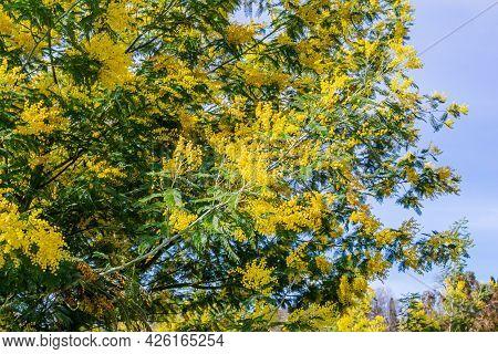 Blooming Tree Of Acacia Dealbata, Silver Acacia Or Mimosa. Festive Spring Season Concept. Mimosa Bra