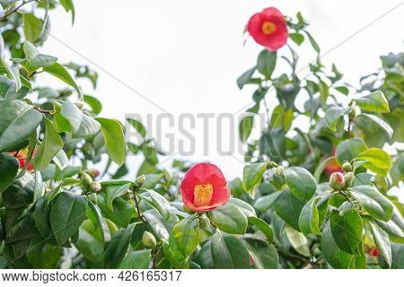 Red Camellia Japonica Flowers, Blooming Bush With Green Leaf With Copy Space. Japanese Camellia In B