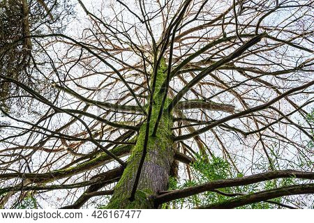 Large Branchy Tree With Moss On The Trunk, The Arboretum Park Of The Sochi City, Russia