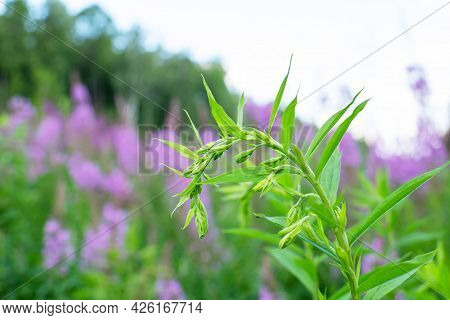 Growing Plant Blooming Sally, Wild Medicinal Herbal Tea Of Willow Plant Or Epilobium. Willow-herb, M