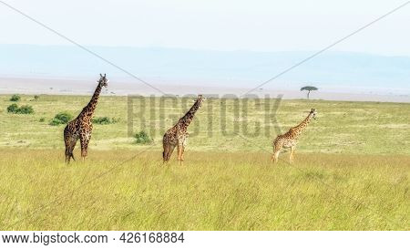 Three Masai giraffes in the Masai Mara, Kenya. A large male and two females in the long grass of the savannah, with acacia trees in the background.
