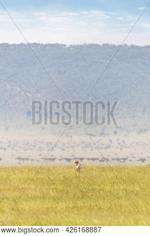 Adult cheetah sits in the long grass of the Masai Mara, with the Oloololo escarpment in the background. Masai Mara National Resereve, Kenya,