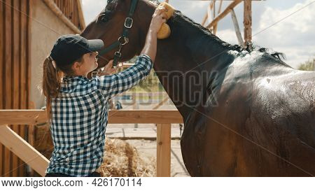 Horse Owner Giving A Bath To Her Seal Brown Stallion In The Stable. With A Sponge Rubbing The Back O