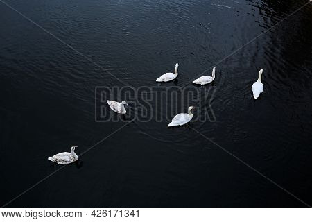 Family Of Swimming Swans On River. Six White Birds. Top View. Dark Contrast Photo. Cold Autumn Or Wi