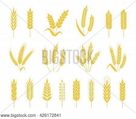 Wheat Ears. Rice Or Barley Crops, Sheaf Of Wheat Ear, Grains And Cereals. Organic Grain Ear, Agricul