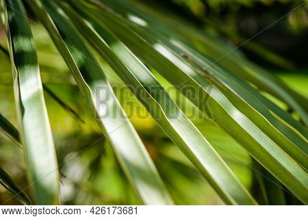 Tropical Palm Leaves In The Sun, Summer, Vacation. Close-up. Defocused