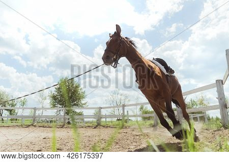 A Dark Brown Horse Being Lunge Trained During The Daytime. Running Along The Wooden Fence In The San