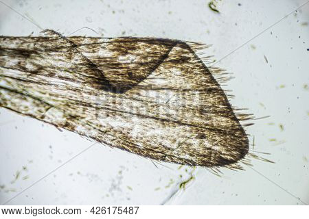 Ephestia Elutella, Wing Of Grain Moth With Scales Macro Close Up Under The Light Microscope, Magnifi