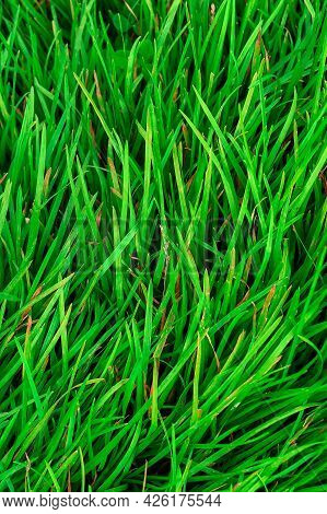 Background Of Green Grass With Slightly Dried Oblong Leaves At The Tips Frame Of Vertical Orientatio
