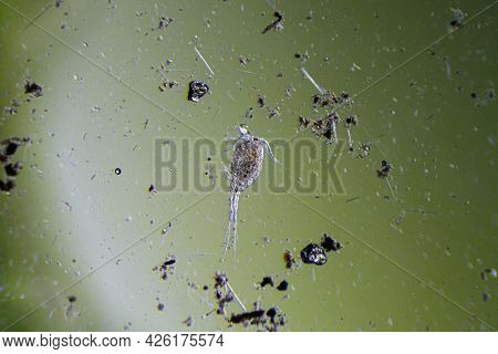 Copepod Cyclops Is Small Crustacean Found In Freshwater Pond. Zooplankton, Micro Crustacean Under Th
