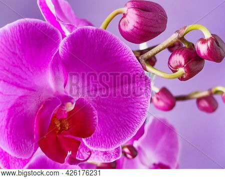 Orchid (phalaenopsis )flower With Buds Closeup.  Orchid Blossom Macrophotography.