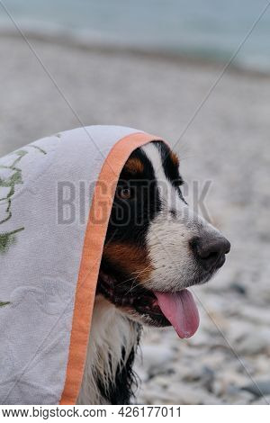 Bernese Mountain Dog On Vacation Is Sitting On Beach With Towel On Its Head. Dog Is Dried After Bath