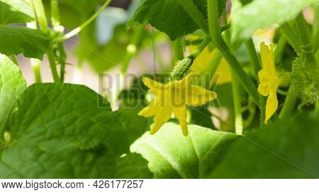 Blooming Cucumber. Yellow Flowers On Cucumber Isolated On White Background. A Small Sprout Of A Cucu
