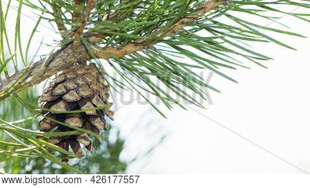 Pine Cone In A Pine Tree. Pinus. Isolated Pine. Pine Branch With Cones Isolated On Light Natural Bac