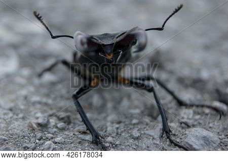 The Stag Beetle. A Beetle In The Red Book. A Very Rare Beetle. A Beetle With Horns In The Wild.