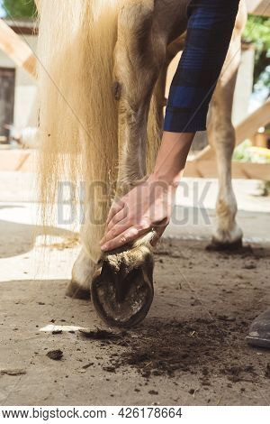 Girl Holding The Leg Of A Palomino Horse Cleaning Horse Hoof Outside The Horse Stable. Taking Out Du