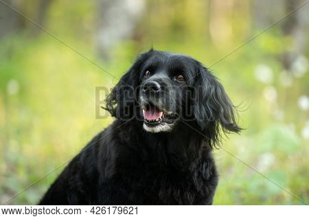 Portrait Of A Beautiful, Old Black Spaniel Dog On A Natural Bright Green Grass Background.