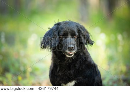 Portrait Of A Funny, Old Black Spaniel Dog On A Natural Bright Green Grass Background.